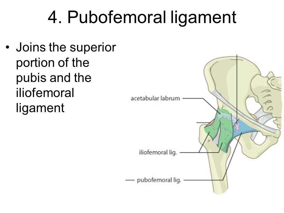 4. Pubofemoral ligament Joins the superior portion of the pubis and the iliofemoral ligament