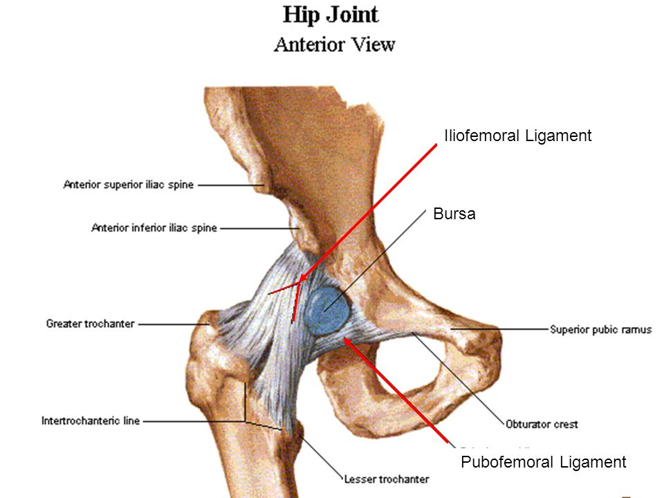 Iliofemoral Ligament Bursa Pubofemoral Ligament