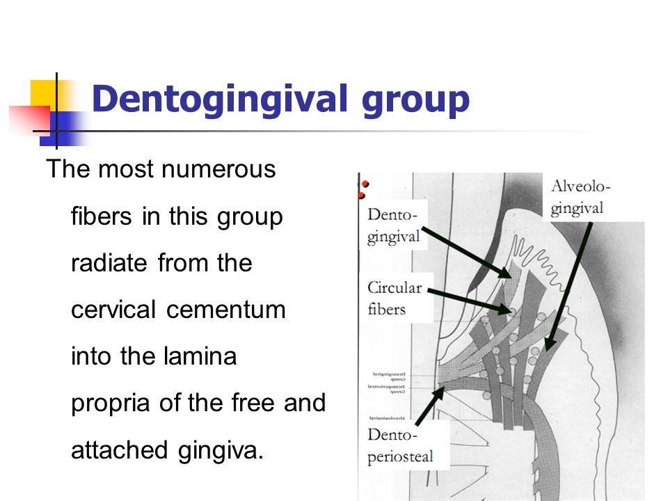 Dentogingival group