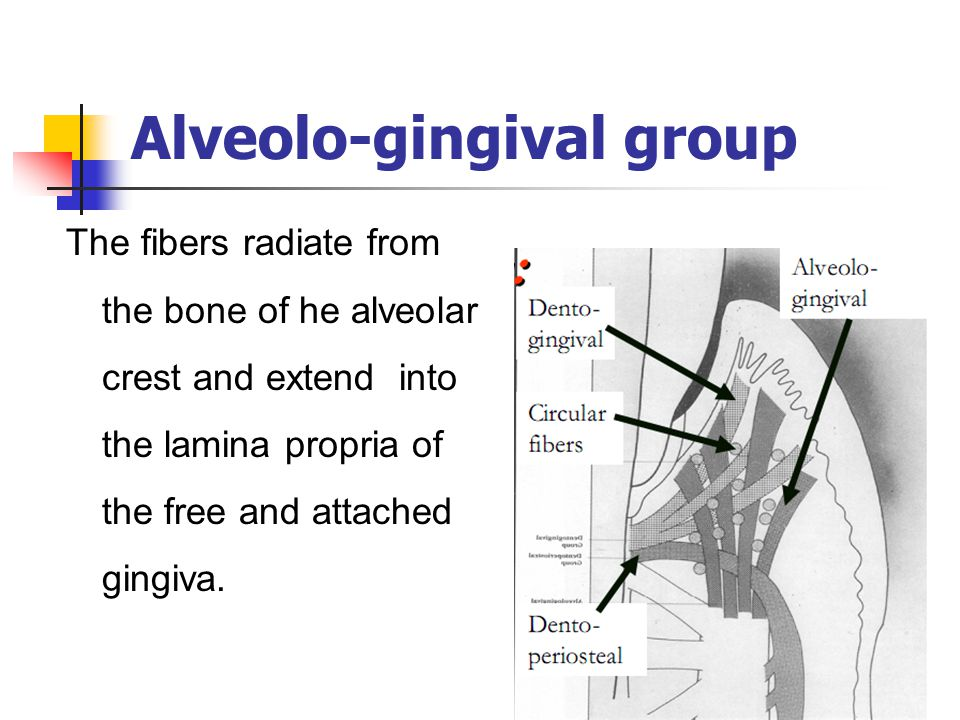 Alveolo-gingival group