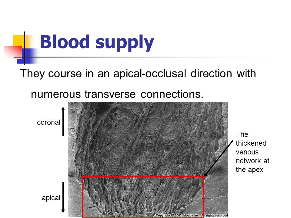 Blood supply They course in an apical-occlusal direction with numerous transverse connections. coronal.