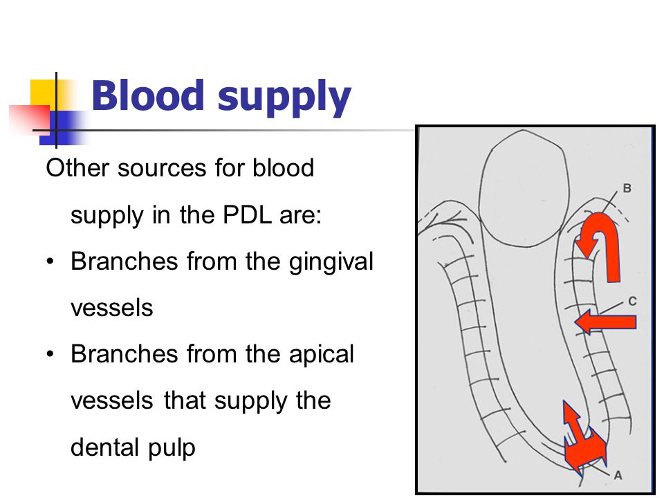 Blood supply Other sources for blood supply in the PDL are: