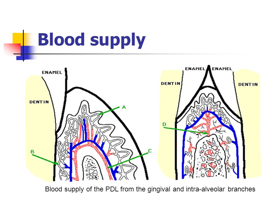 Blood supply Blood supply of the PDL from the gingival and intra-alveolar branches
