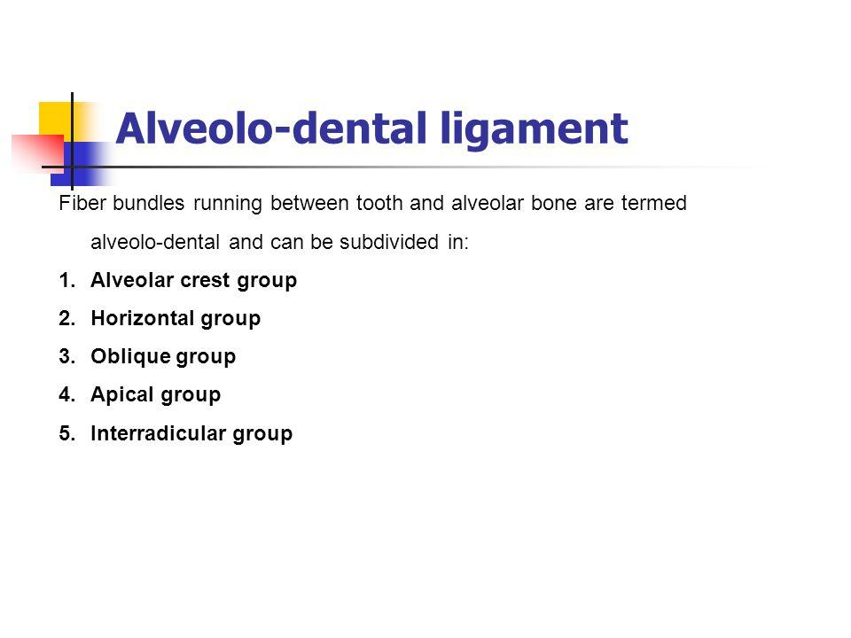 Alveolo-dental ligament
