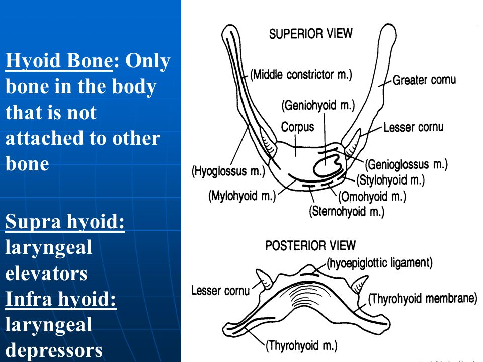 Hyoid Bone: Only bone in the body that is not attached to other bone