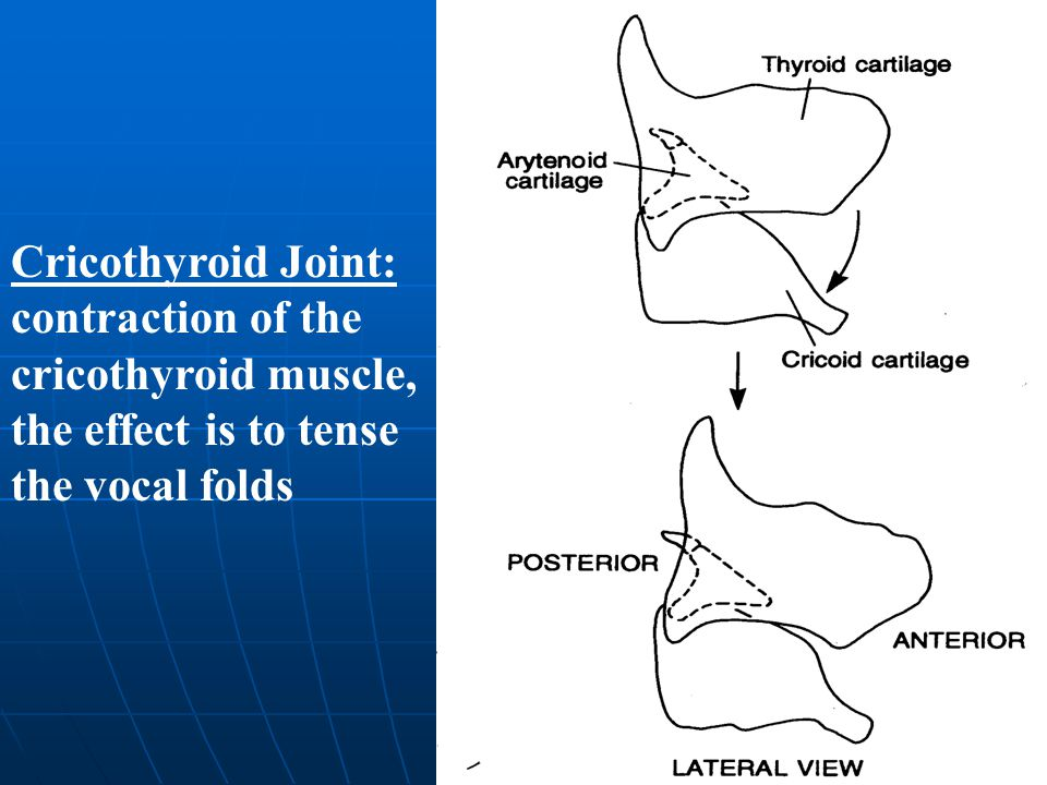 Cricothyroid Joint: contraction of the cricothyroid muscle, the effect is to tense the vocal folds