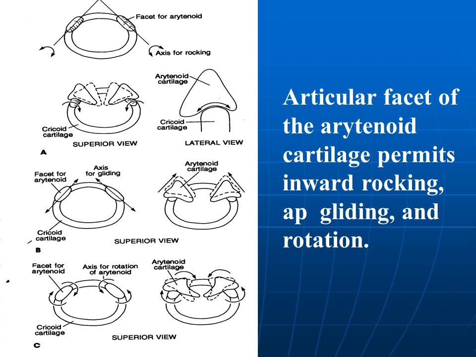 Articular facet of the arytenoid cartilage permits inward rocking, ap gliding, and rotation.