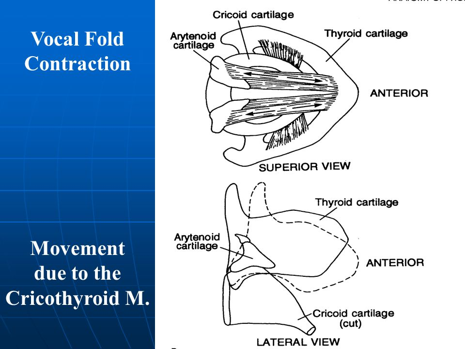 Vocal Fold Contraction Movement due to the Cricothyroid M.