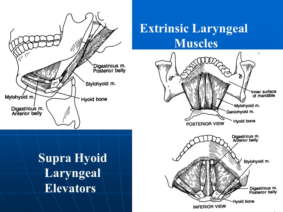 Extrinsic Laryngeal Muscles