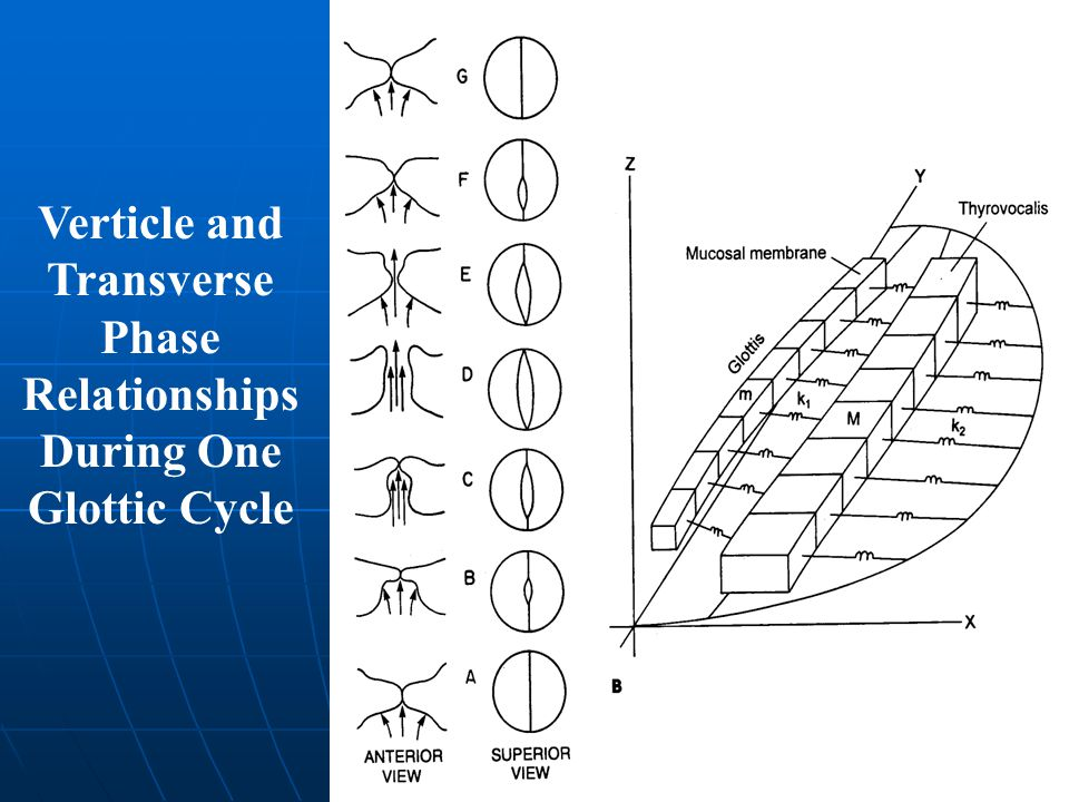 Verticle and Transverse Phase Relationships During One Glottic Cycle
