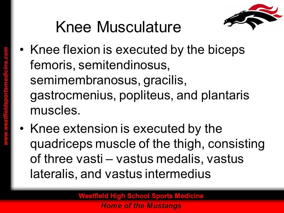 Knee Musculature