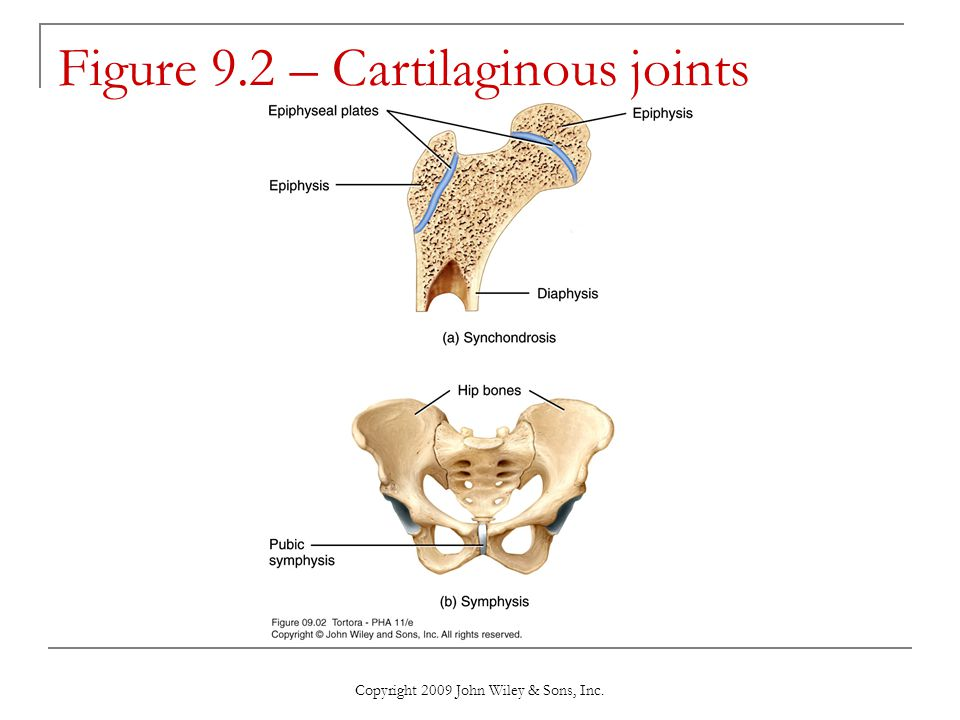 Figure 9.2 – Cartilaginous joints