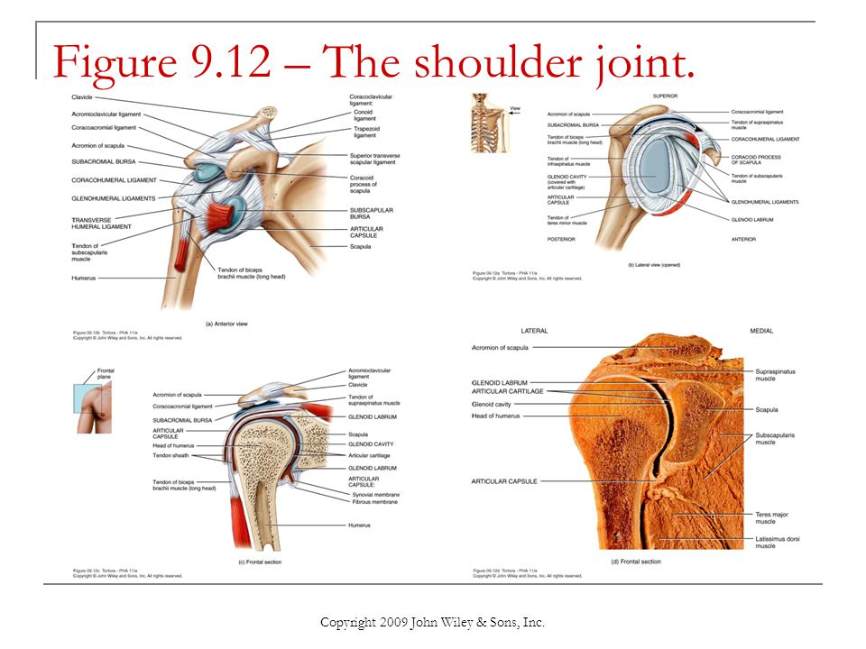 Figure 9.12 – The shoulder joint.