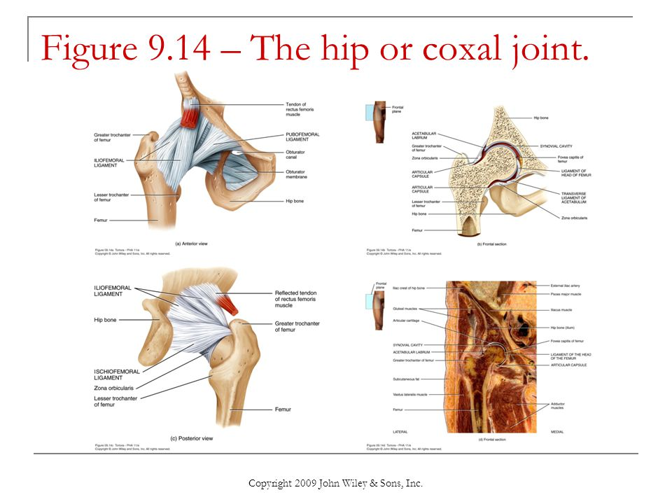 Figure 9.14 – The hip or coxal joint.