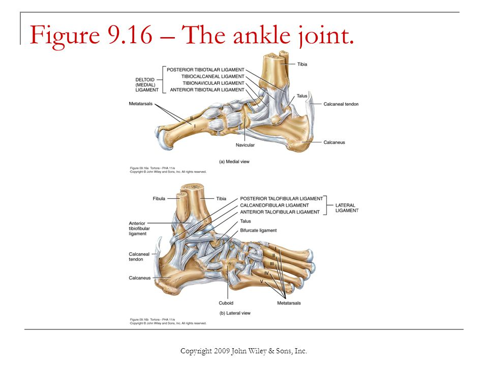 Figure 9.16 – The ankle joint.
