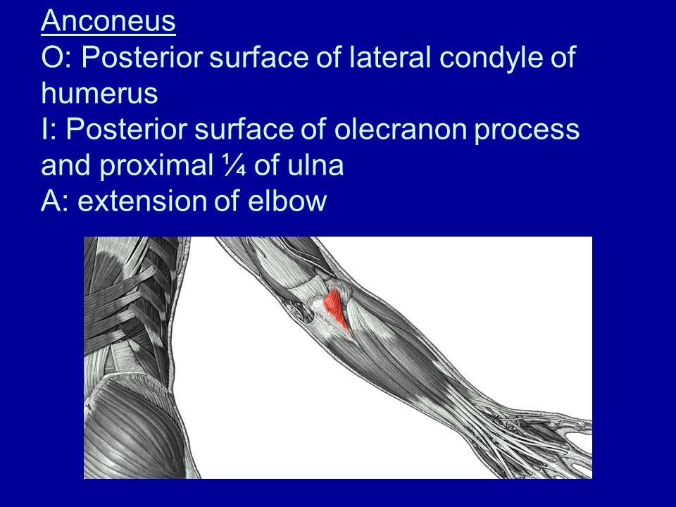 Anconeus O: Posterior surface of lateral condyle of humerus I: Posterior surface of olecranon process and proximal ¼ of ulna A: extension of elbow