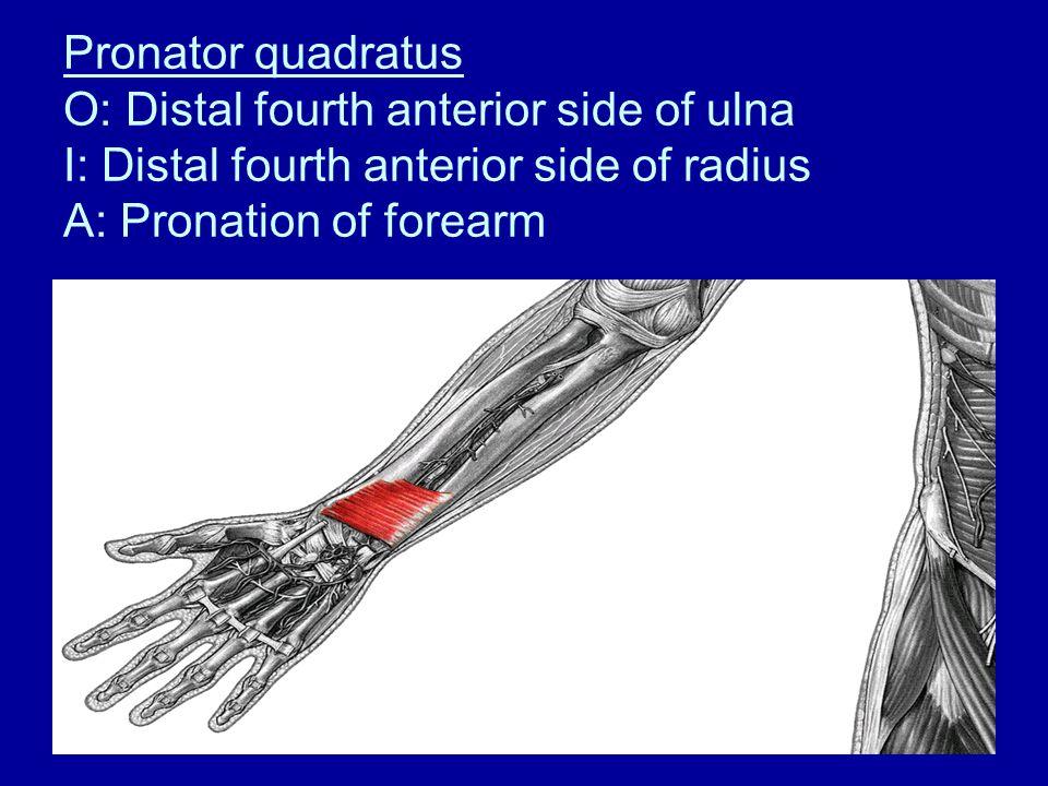 Pronator quadratus O: Distal fourth anterior side of ulna I: Distal fourth anterior side of radius A: Pronation of forearm