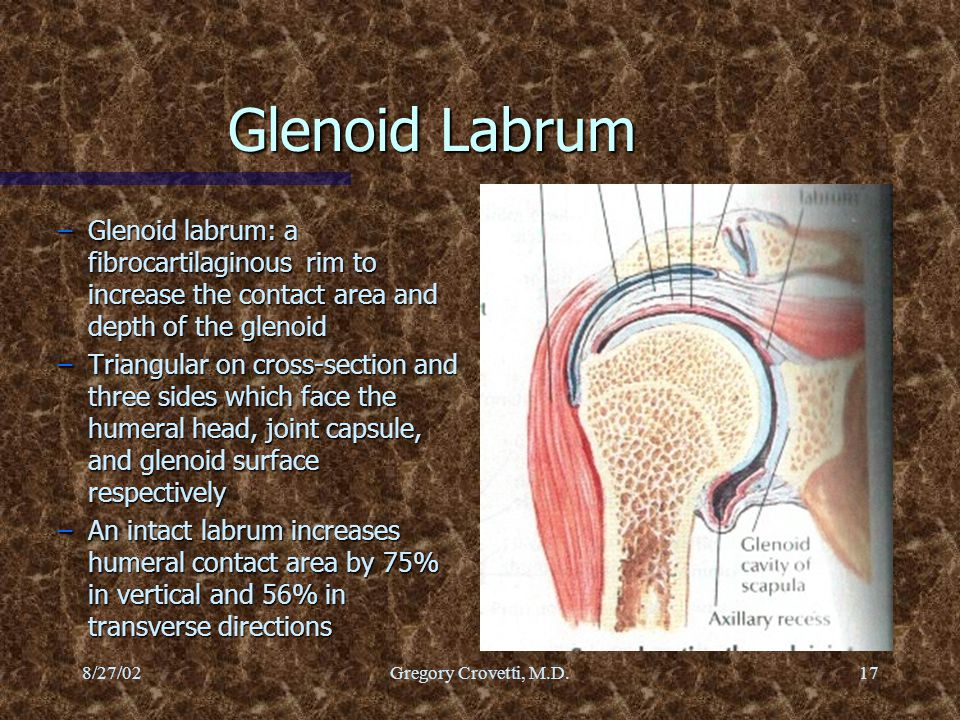 Glenoid Labrum Glenoid labrum: a fibrocartilaginous rim to increase the contact area and depth of the glenoid.