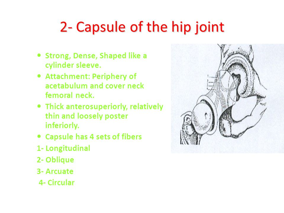 2- Capsule of the hip joint