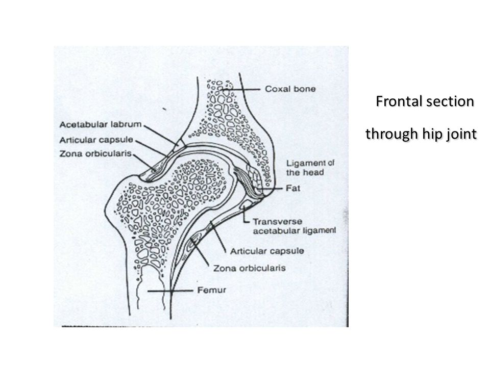Frontal section through hip joint