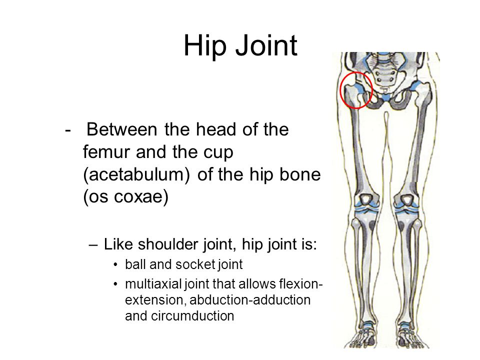 Hip Joint - Between the head of the femur and the cup (acetabulum) of the hip bone (os coxae) Like shoulder joint, hip joint is: