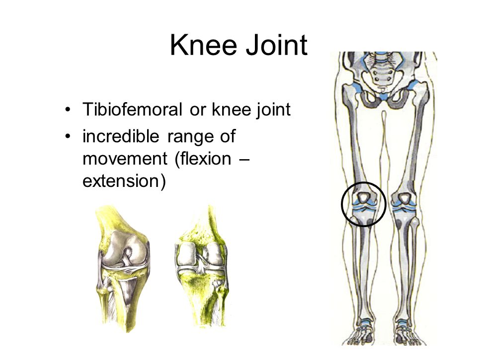 Knee Joint Tibiofemoral or knee joint