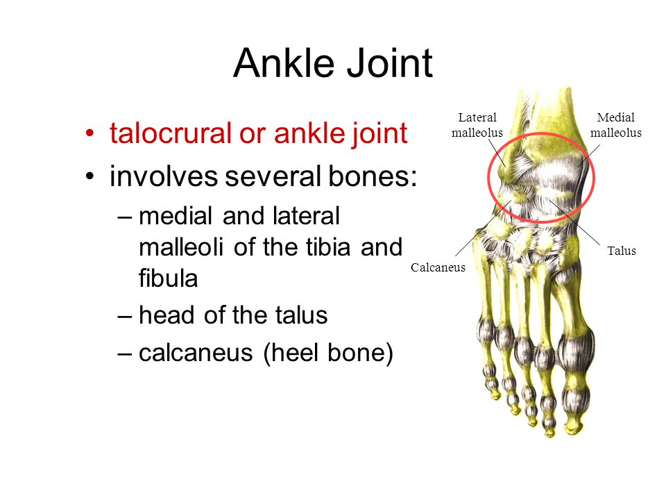Ankle Joint talocrural or ankle joint involves several bones: