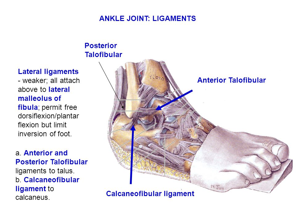 ANKLE JOINT: LIGAMENTS