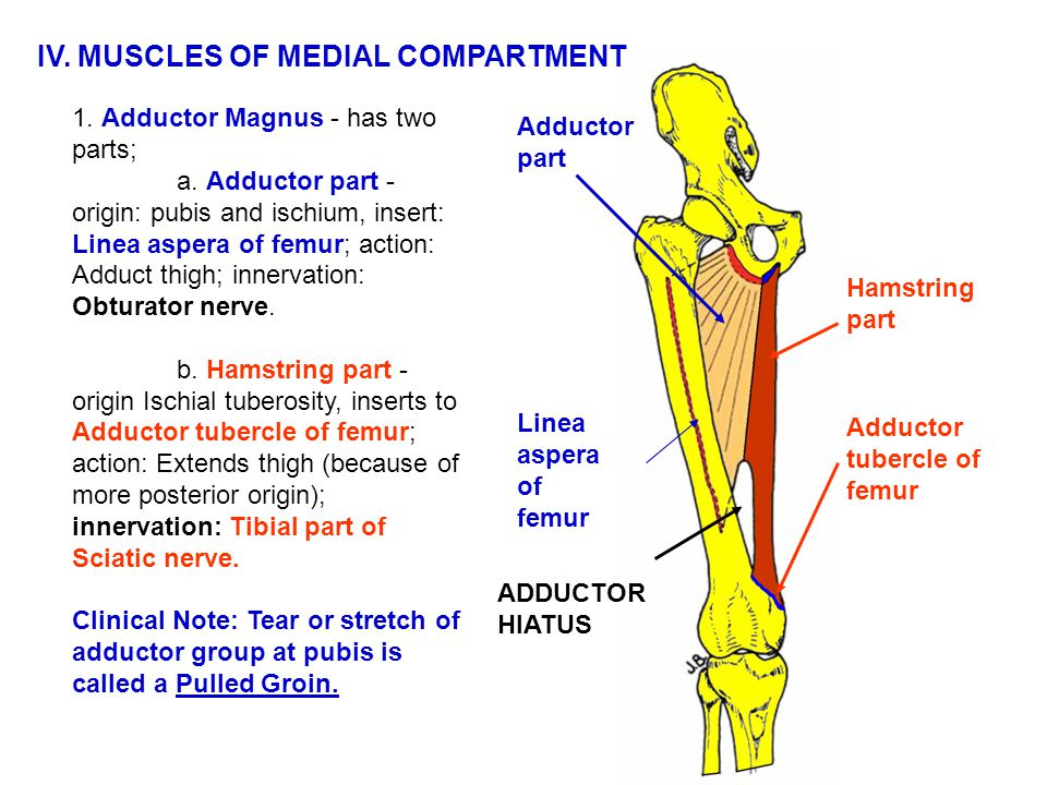 IV. MUSCLES OF MEDIAL COMPARTMENT