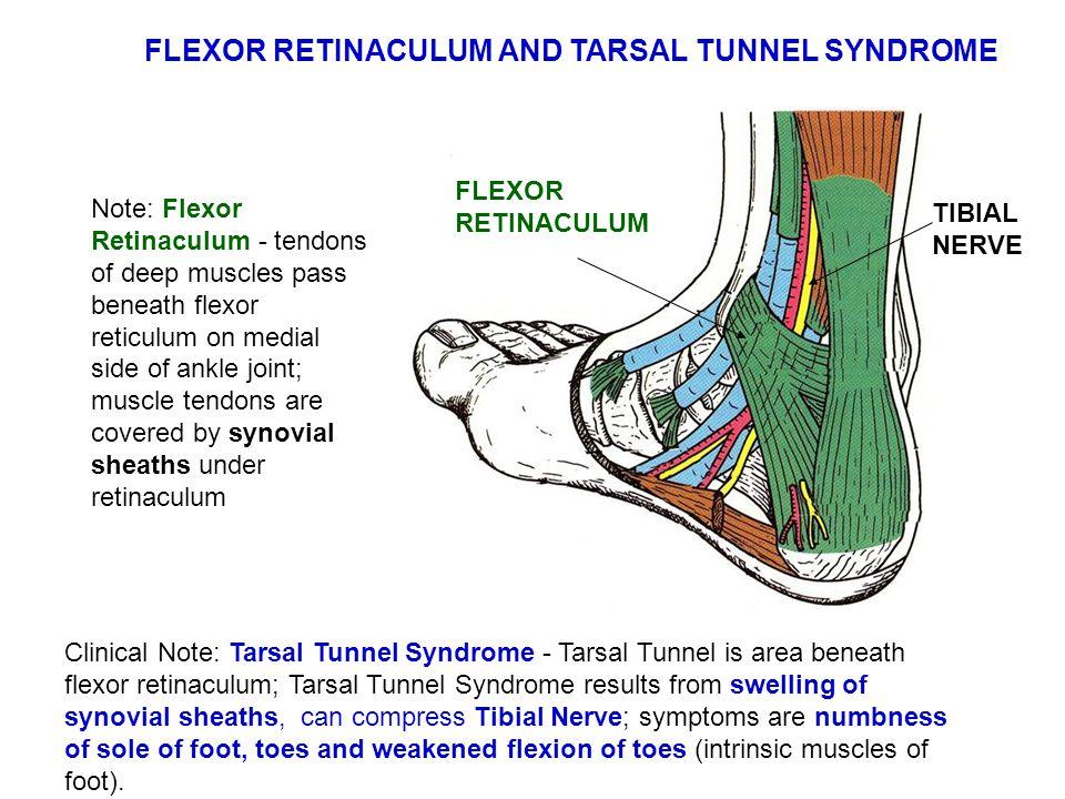 FLEXOR RETINACULUM AND TARSAL TUNNEL SYNDROME