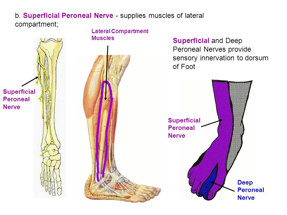 Peroneal Nerves provide sensory innervation to dorsum of Foot