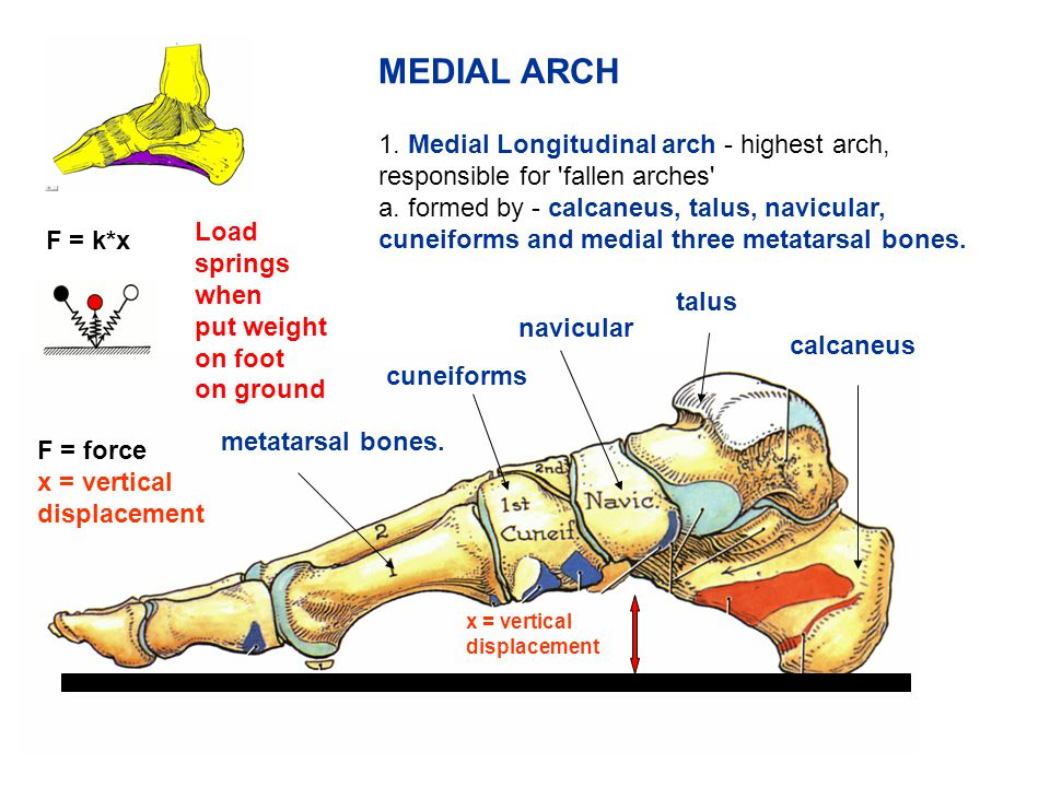 MEDIAL ARCH 1. Medial Longitudinal arch - highest arch, responsible for fallen arches