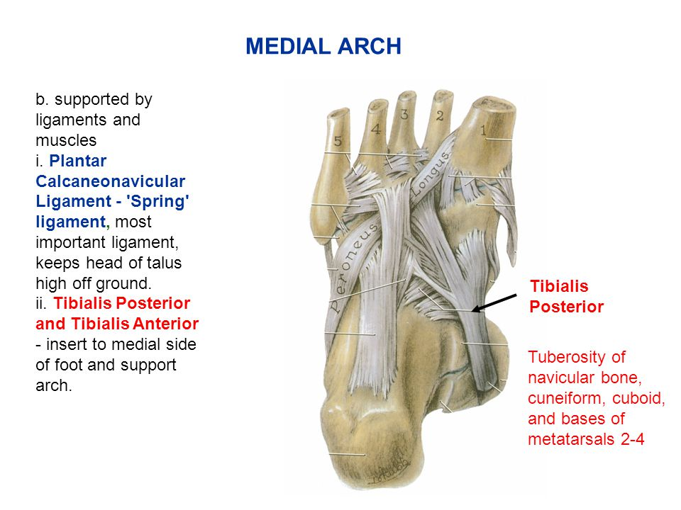 MEDIAL ARCH b. supported by ligaments and muscles