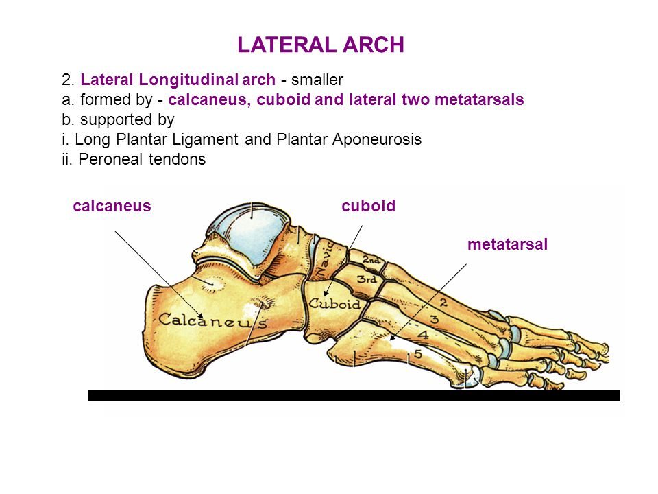 LATERAL ARCH 2. Lateral Longitudinal arch - smaller