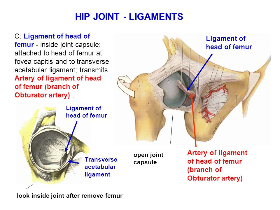 HIP JOINT - LIGAMENTS