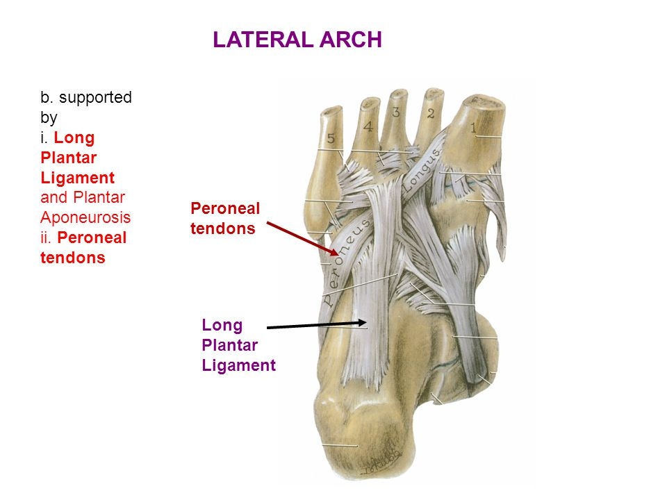 LATERAL ARCH b. supported by