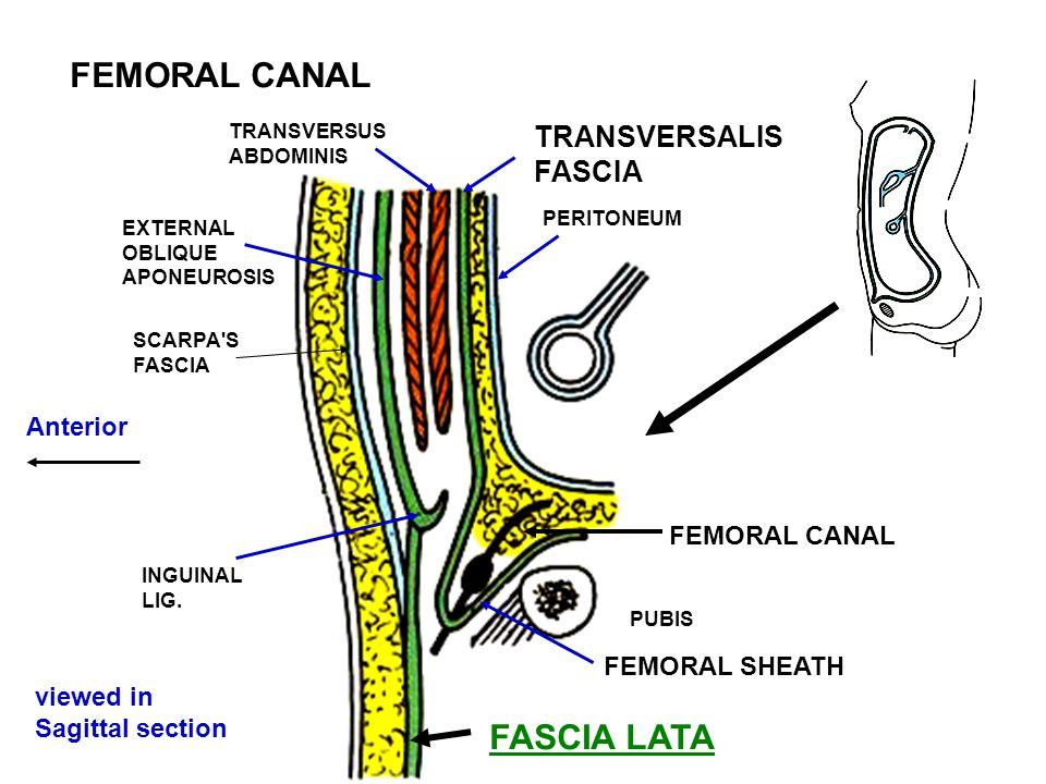 FEMORAL CANAL FASCIA LATA TRANSVERSALIS FASCIA Anterior FEMORAL CANAL