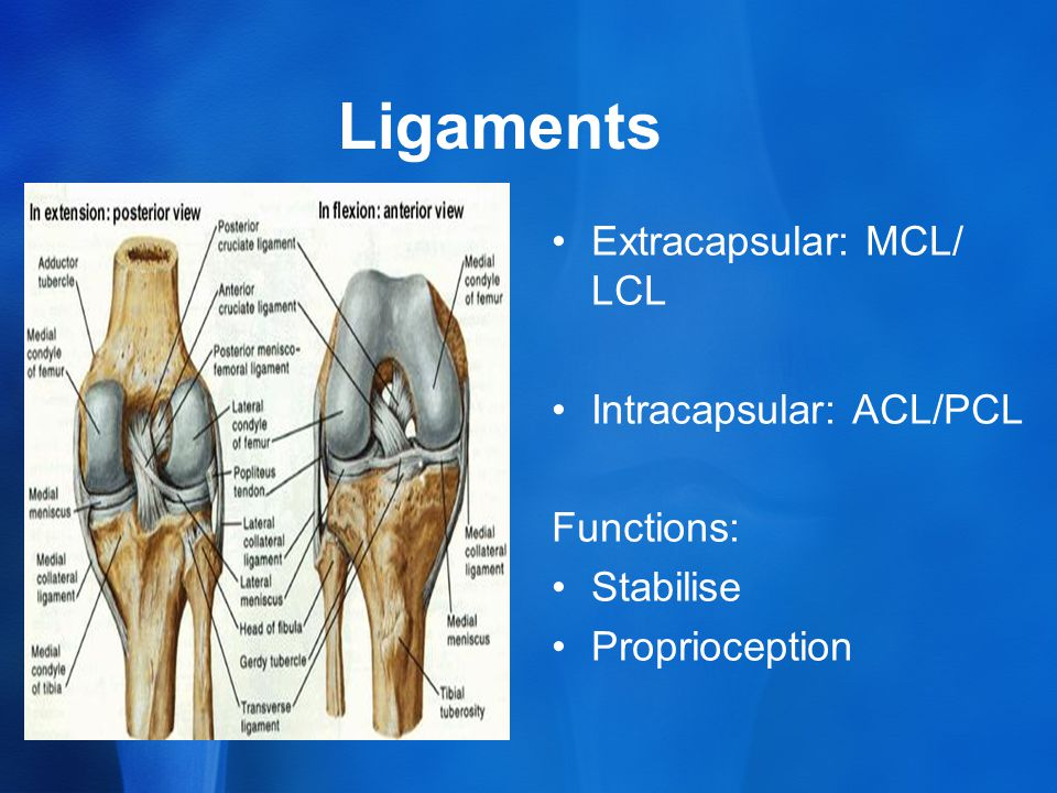 Ligaments Extracapsular: MCL/ LCL Intracapsular: ACL/PCL Functions: