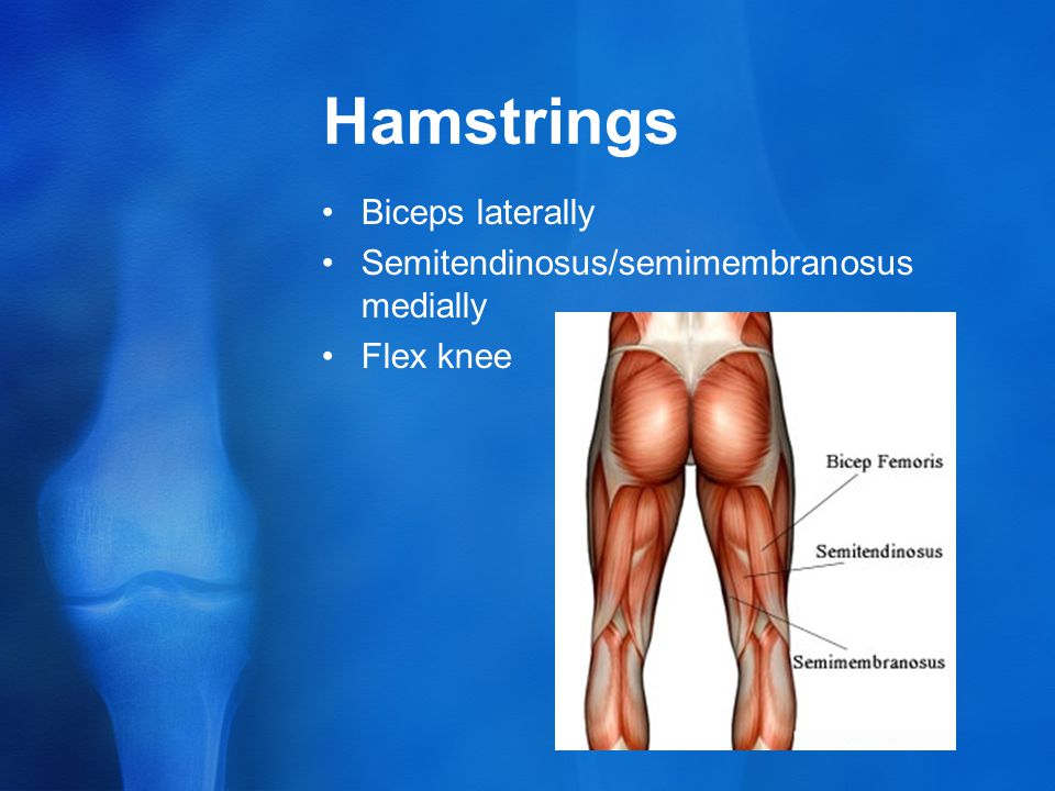 Hamstrings Biceps laterally Semitendinosus/semimembranosus medially