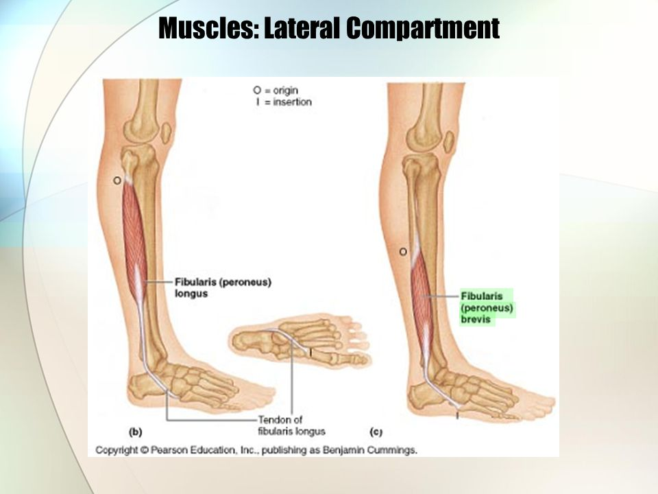 Muscles: Lateral Compartment