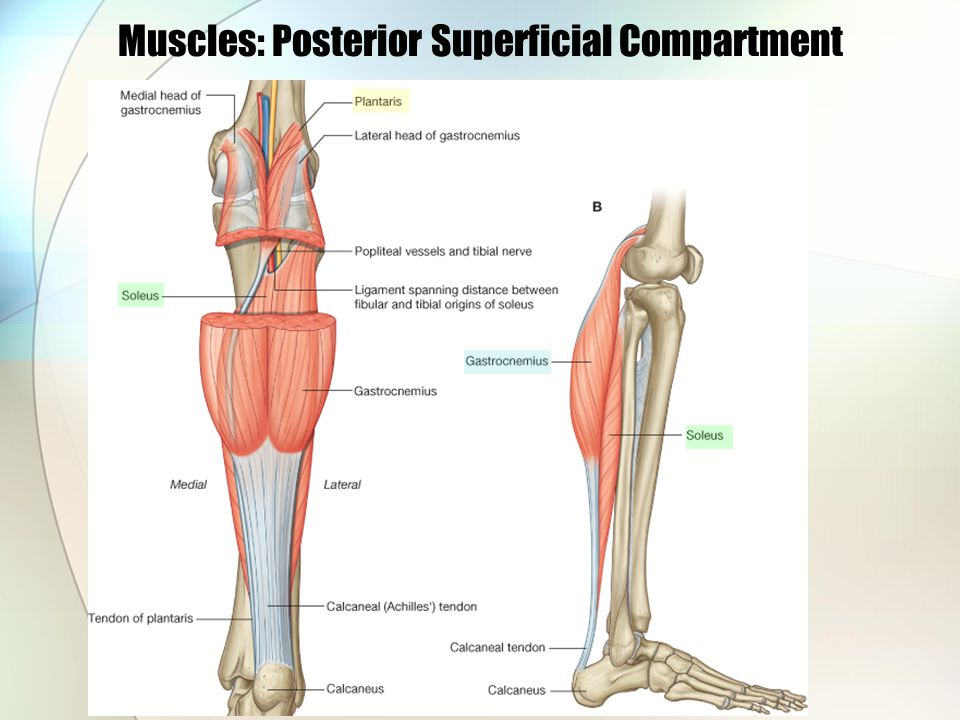 Muscles: Posterior Superficial Compartment