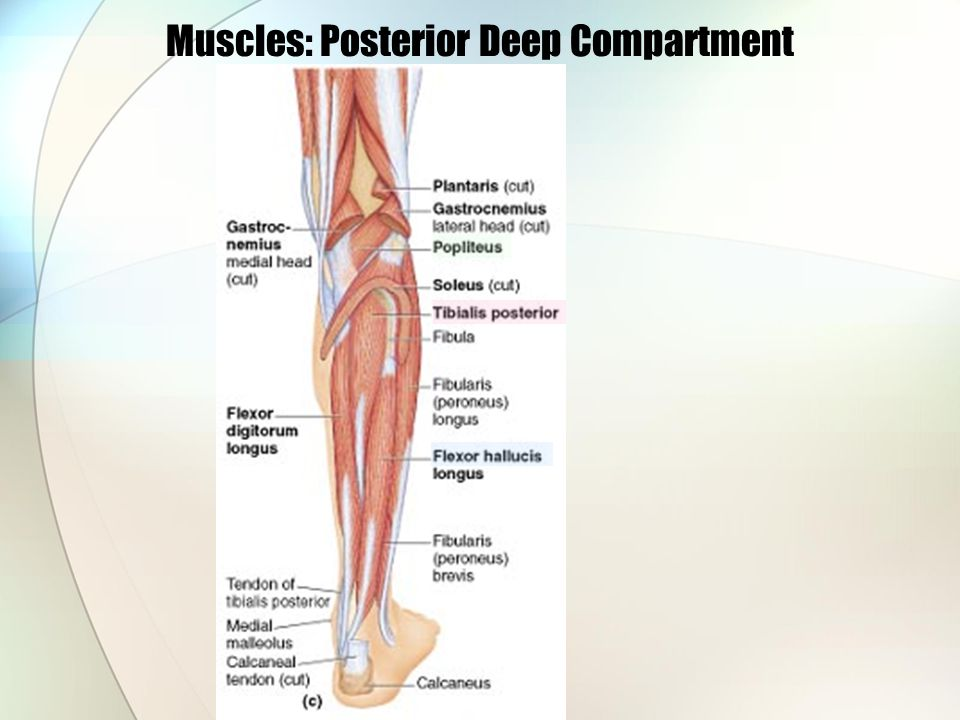 Muscles: Posterior Deep Compartment