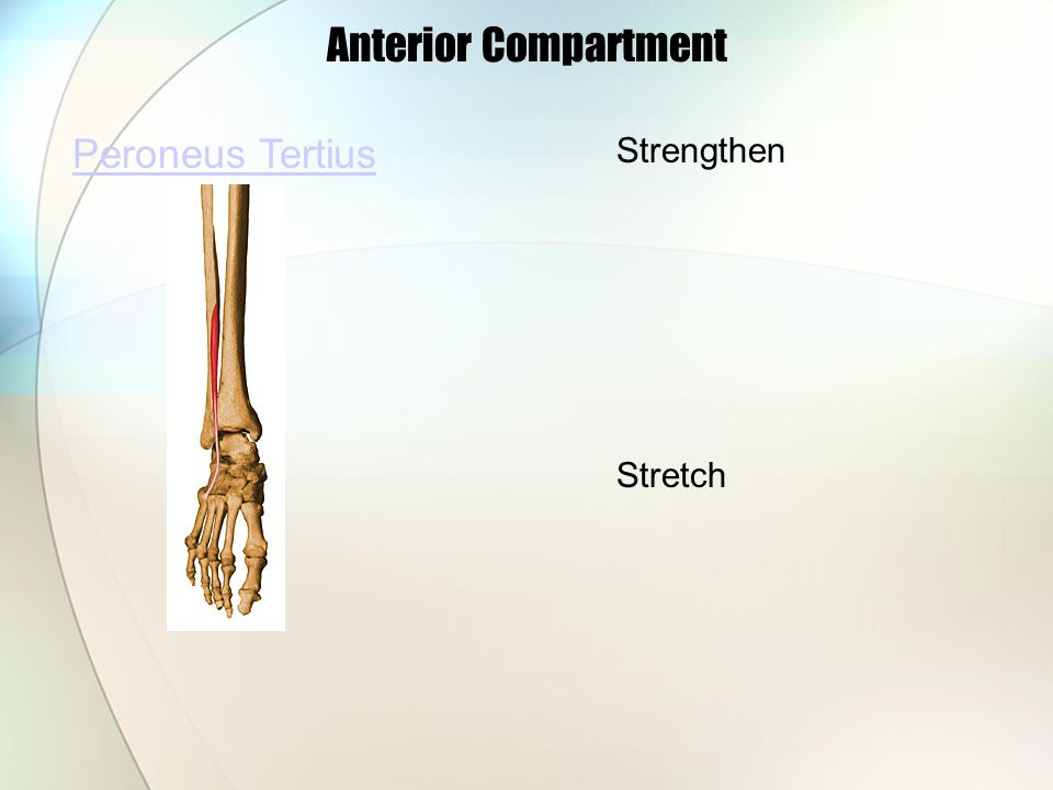 Anterior Compartment Peroneus Tertius Strengthen Stretch