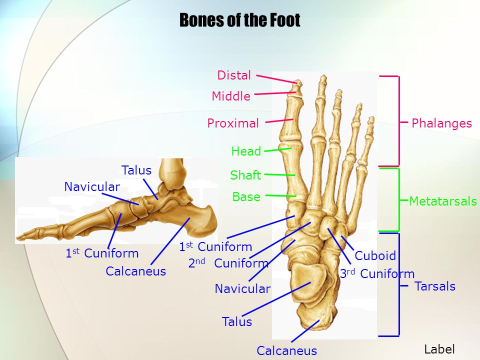 Bones of the Foot Distal Middle Proximal Phalanges Head Talus Shaft