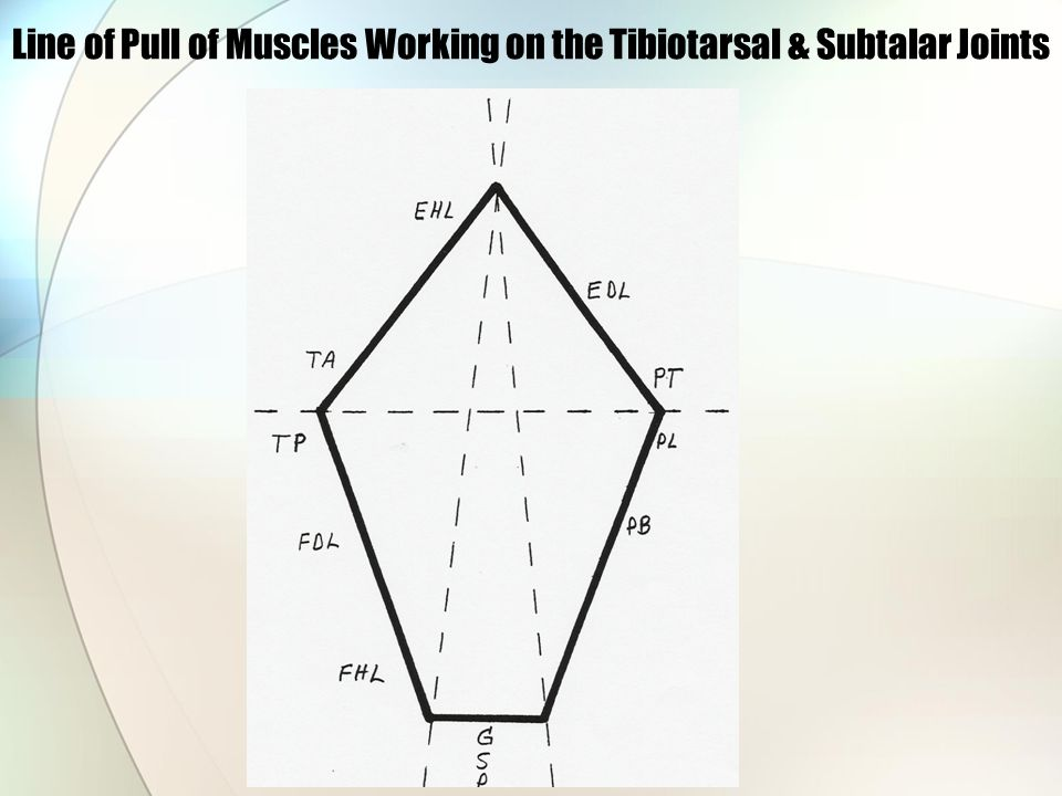 Line of Pull of Muscles Working on the Tibiotarsal & Subtalar Joints