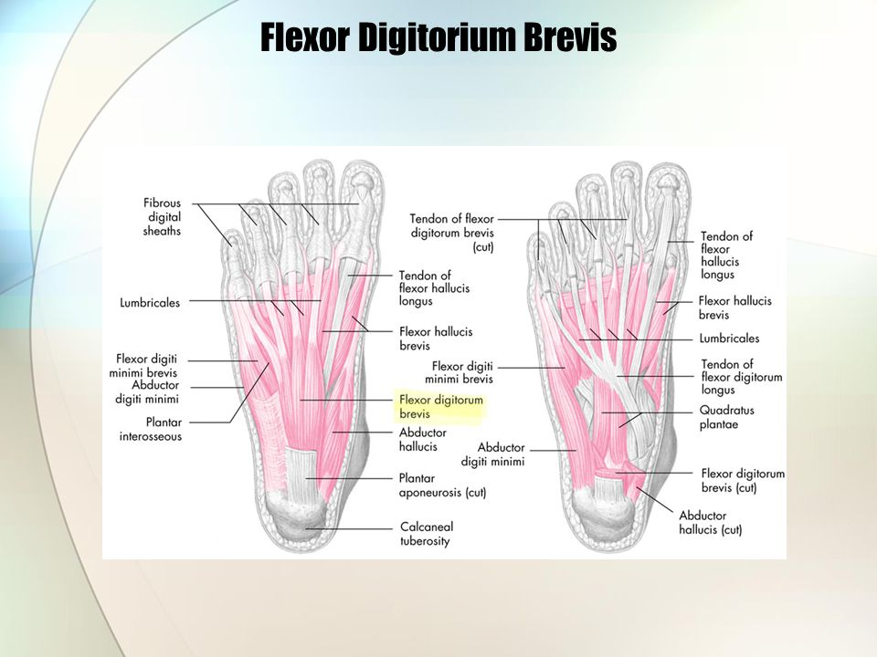 Flexor Digitorium Brevis