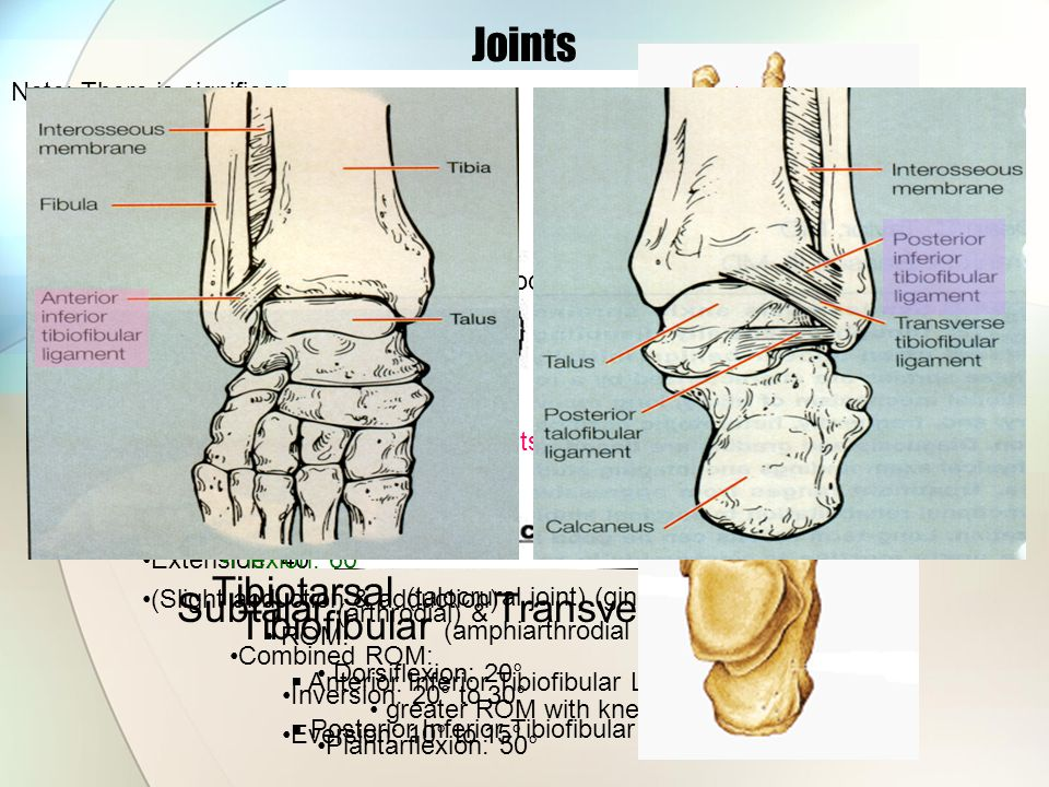 Joints Metatarsophalangeal (condylodial) Interphylangeal (ginglymus)