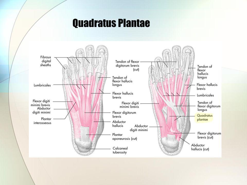 Quadratus Plantae