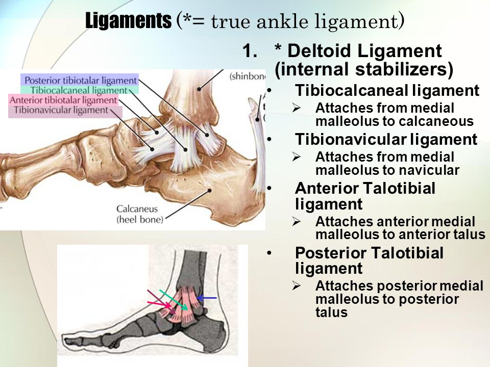 Ligaments (*= true ankle ligament)