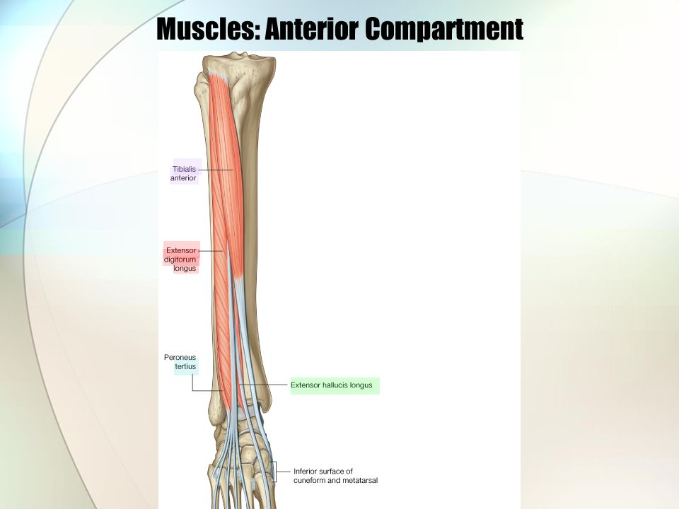 Muscles: Anterior Compartment